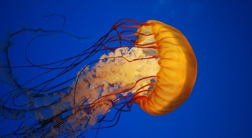Use Pantyhose to Protect Yourself from Jellyfish Stings