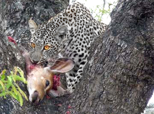 Leopards eating - photo#7